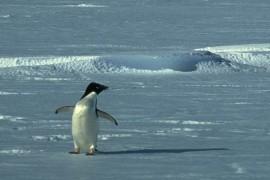 Atentie! Un pinguin la bord…