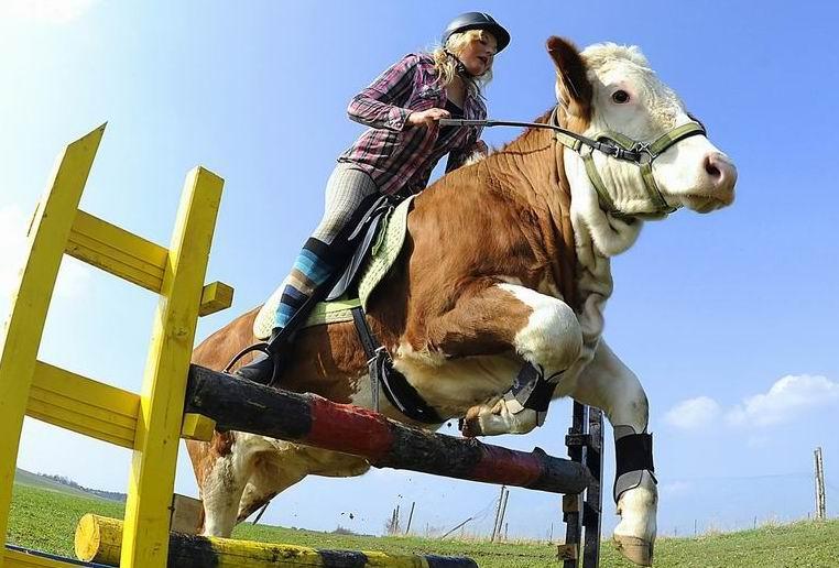 Pasionati de echitatie? De ce nu va cumparati o vaca!?