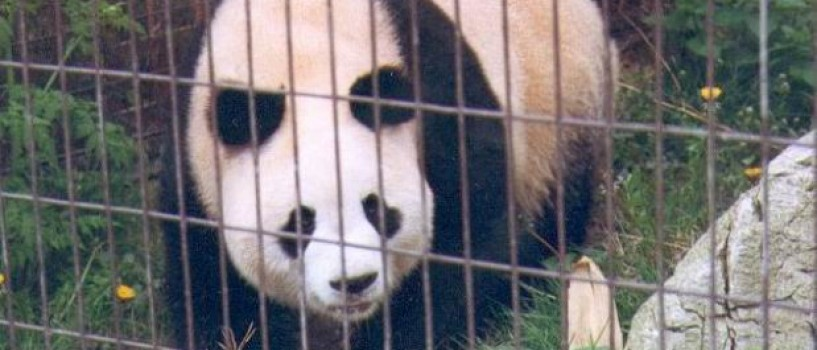 A murit Ming Ming – cel mai batran panda din lume