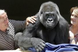 Un cuplu francez a adoptat o… gorila!