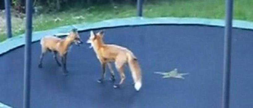Doi pui de vulpe se distreaza copios sarind pe trambulina! (VIDEO)