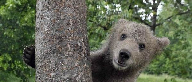 Ursuletul Medo se pregateste pentru viata in salbaticie in Romania!