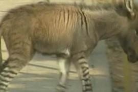 Faceti cunostinta cu magarusul-zebra (VIDEO)!