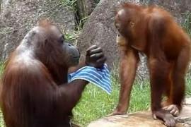 Un urangutan se racoreste intocmai ca un om! (VIDEO)