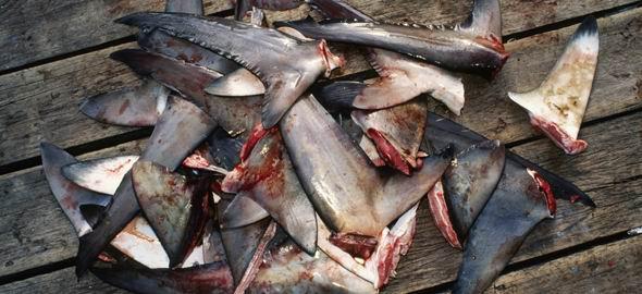 De ce pretuiesc chinezii supa de aripi de rechin?