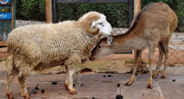 China a spus DA! iubirii dintre un berbec si o caprioara! (VIDEO)