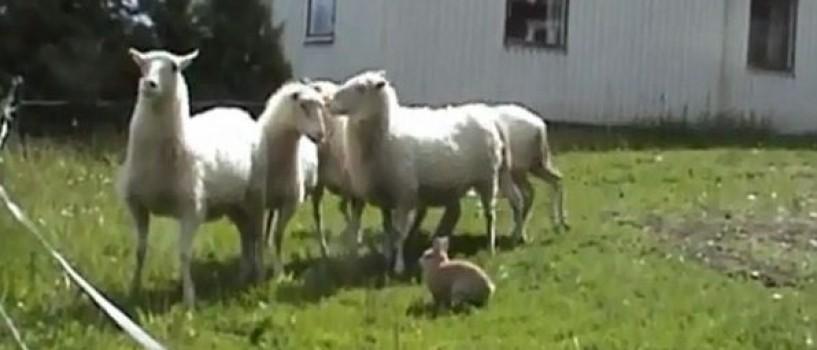 Cunoasteti-l pe Champis, iepurele care are grija de oi mai ceva ca un ciobanesc! (VIDEO)