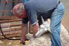 Federatia Fermierilor din Noua Zeelanda vrea ca tunsul oilor sa devina sport olimpic!
