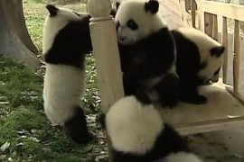 Ursii panda se zbenguie la tobogan! (VIDEO)