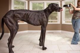 Cel mai inalt caine din lume are 1,12 m!