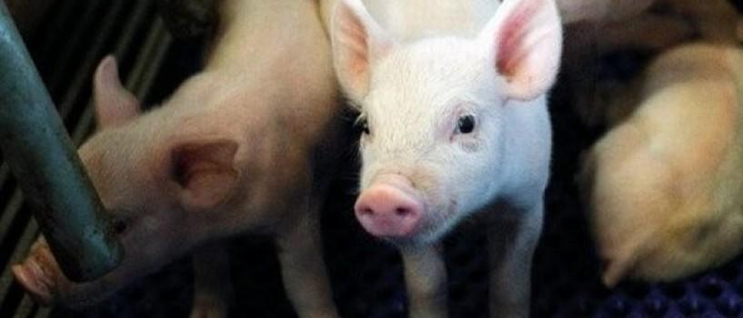 Om mancat de porci in Oregon!