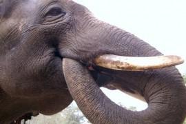 Elefantul Koshik a invatat sa vorbeasca! (VIDEO)