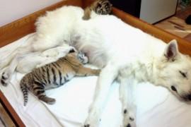 Un caine a adoptat trei pui de tigru (VIDEO)