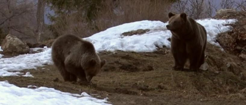 Ursul – între comoară naţională şi pacoste, duminica, la Romania te iubesc