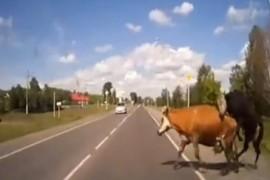 O masina a lovit doua vaci care se imperecheau pe strada! (VIDEO)