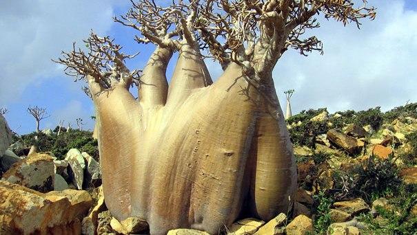 Insula Socotra gazduieste specii de plante vechi de acum 20 de milioane de ani!