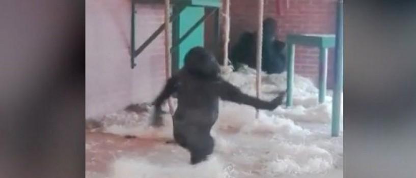 VIDEO: Sa fie oare aceasta cea mai gratioasa gorila din lume?