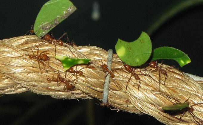 Ce fac furnicile cu frunzele pe care le cara?