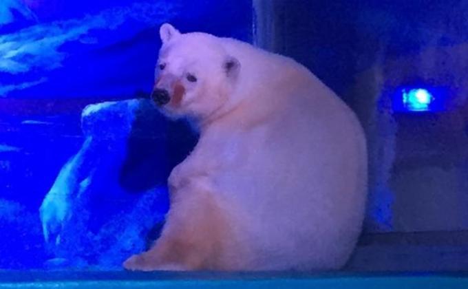 Chinezii au expus un urs polar intr-un mall ca sa-si faca vizitatorii selfie cu el!