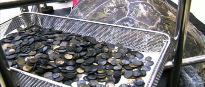 "Testoasa ""banca"" care a inghitit 5 kg de monede a murit de septicemie!"