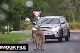 """Doi canguri """"indragostiti"""" au blocat traficul in Australia!"""