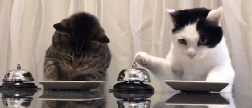 VIDEO: Pisicile japoneze care suna din clopotel ca sa primeasca hrana sunt dementiale!