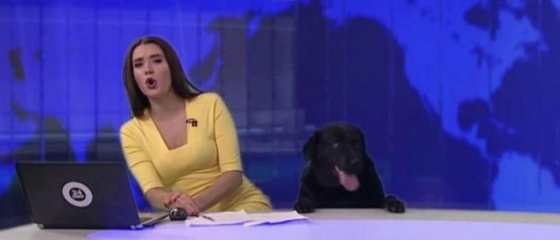 VIDEO: Un labrador a intrerupt programul de stiri live la o televiziune din Rusia!