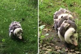 VIDEO: Ar putea fi mama anului! O femela oposum isi cara in spate toti cei 12 pui!