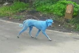 Misterul cainilor albastri din Mumbai a fost elucidat!