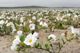 Desertul Atacama s-a umplut de flori!