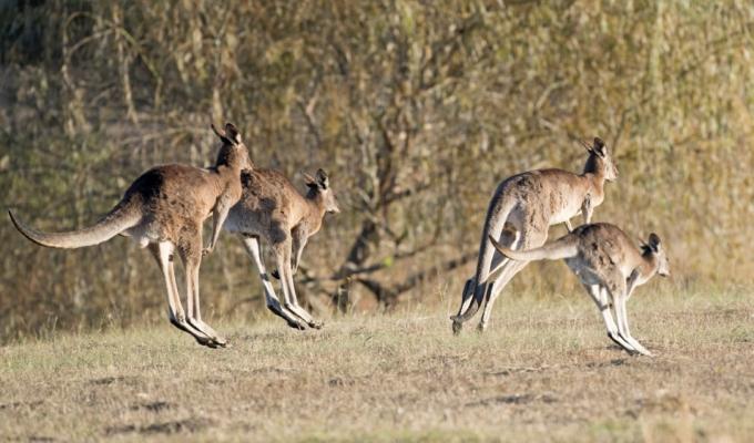 Australienii sunt indemnati sa manance mai multa carne de cangur!
