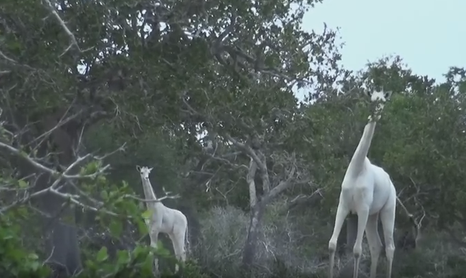 VIDEO: Doua girafe albe au fost filmate in Kenya!