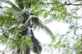 Un filipinez a trait trei ani intr-un cocotier!