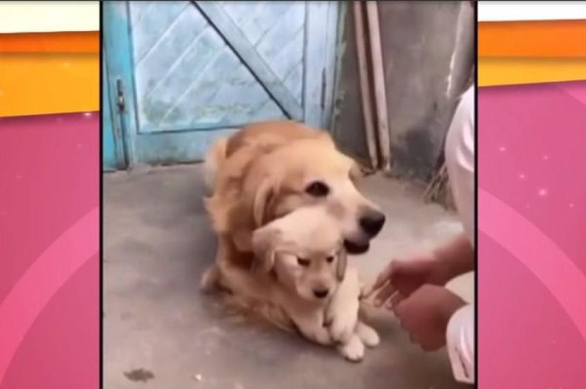 VIDEO: Acest tatic hiperprotector este totodata… hiper-simpatic!